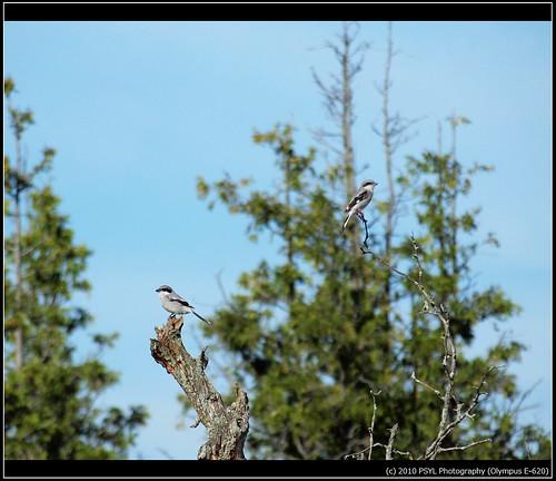 Eastern Loggerhead Shrikes (Lanius  ludovicianus migrans)