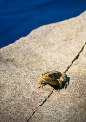 American Toad on Stone