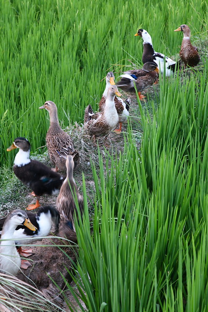 Ducks in the rice fields, Chengyang, Guangxi, China