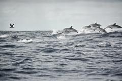 dolphins-0358 (P_Lima) Tags: ocean miguel island mar lima dolphin paulo ilha são azores açores golfinho ilustrarportugal
