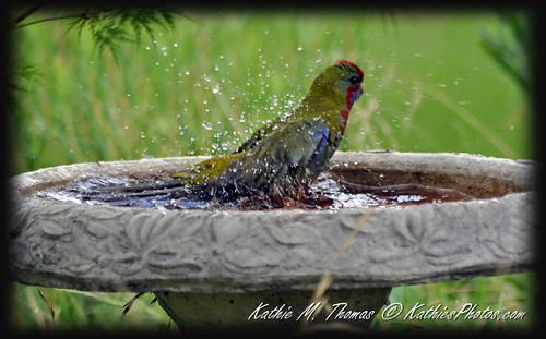 Rosella takes a bath