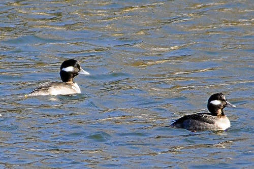 buffleheads females