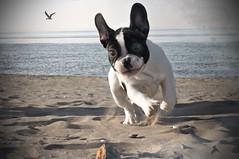 Willy (invitojazz) Tags: sea dog beach cane nikon mare run frenchbulldog spiaggia willy correre d90 bulldogfrancese bouledoguefrancese flickraward flickraward5 invitojazz