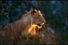 The Sentinel (hvhe1) Tags: africa light sunset male nature animal cat southafrica gold bravo wildlife lion natuur safari bigcat afrika predator juvenile mala mane leeuw zuidafrika specanimal hvhe1 hennievanherden