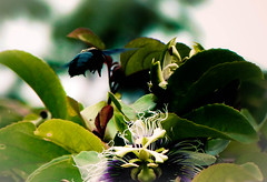 Bzzzzzz.... (Marco Aurlio S. Barg) Tags: sony flor bee bumblebee abelha maracuj indaial mamangava dschx1 sonydschx1