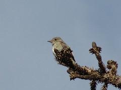 Gray Flycatcher (zostropz) Tags: birding 21411