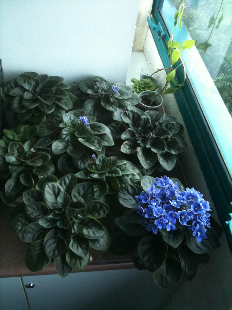 非洲紫羅蘭
