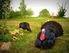Evening light, DSK and his girlfriend Sandra (hardworkinghippy : La Ferme de Sourrou) Tags: poule chickens permaculture