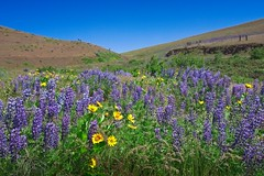 Wildflowers Dalles Mountain Road 5140 C (jim.choate59) Tags: wildflowers spring sunny purple prairie columbiahillsstatepark hills flowers dallesmountainroad sky jchoate scenic landscape washingtonstate klickitatcounty yellow bluesky rx100 on1pics