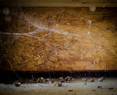 Death Den- (Doug NC) Tags: sowbugs dead spider spiderweb death decay dried meal spiderfood nikkor50mm18 nikond7000 decayed suckeddry corpse decaying dustinthewind garage plywood underwood wood