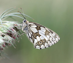Roosting Marbled White! (RiverCrouchWalker) Tags: roostingmarbledwhite marbledwhite melanargiagalathea butterfly roosting evening summer june 2017 insect invertebrate southwoodhamferrers fenncreek essex