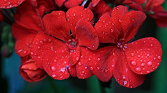 Flowers with Water Drops (hbickel) Tags: flower water waterdrops canont6i canon photoaday pad