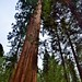 Looking Up to the Skies Above with Only Tall, Giant Sequoias Around Me! (Yosemite National Park)