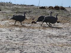 P1160050 Chobe National Park Botswana (52) (archaeologist_d) Tags: chobenationalpark botswana guineafowl africa southernafrica safari