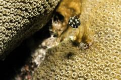 Juvenile Trunk Fish_Bari Reef_Bonaire_June 2017 (R13X) Tags: bonaire underwaterphotography underwatermacrophotography scubadiving diving denlaman dutchcaribbean dutchislands shorediving nikon nikon105mm nikon60mm d7200 juveniletrunkfish trunkfish barireef somethingspecial saltpier torisreef