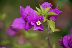 Bougainvillea (Mystycat =^..^=) Tags: bougainvillea bougainvillée bougainvillier fleur plante ngc naturethroughthelens coth5