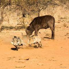 Hasty retreat (Johann (Sasolburg, RSA.)) Tags: buffalo warthog vlakvark greatphotographers buffel
