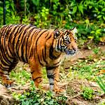 Sumatran Tiger's Cub : スマトラトラのファントム thumbnail