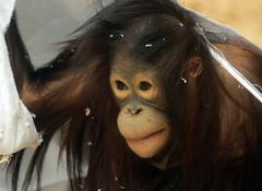 orangutan Ouwehands JN6A3433 (joankok) Tags: orangoetan orangutan sumatra sumatranorangutan sumatraanseorangoetan ouwehands animal asia azie aap ape mammal monkey mensaap zoogdier dier