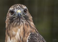 Raptor (lgflickr1) Tags: review alaska birdofprey raptor wildlife hawk closeup eyes stare