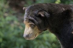 Malayan Sun bear (ucumari photography) Tags: ucumariphotography zooatlanta atlanta ga georgia sunbear helarctosmalayanus bear animal mammal dsc9165 oso july 2017 specanimal specanimalphotooftheday