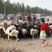 Uyghur girl with flock