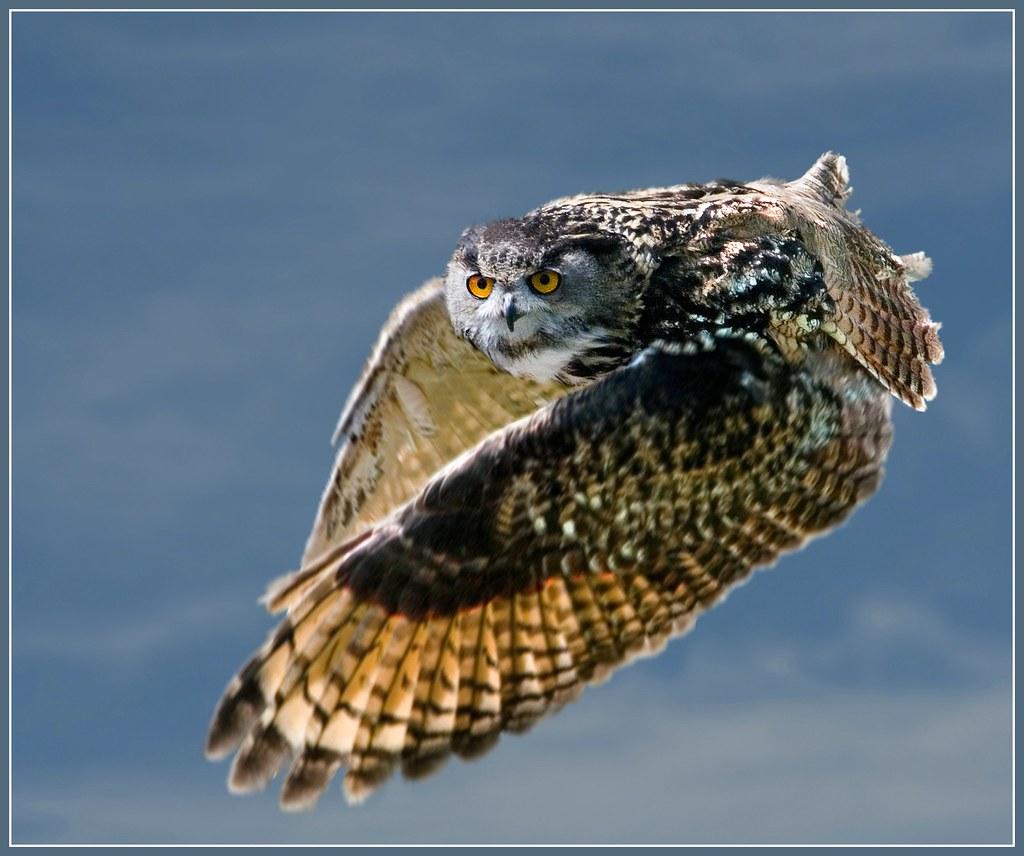 how to train a european eagle owl