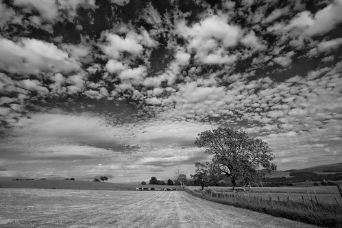 IMG_9428_field&cows-wiston_b&w