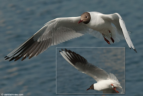 Black-headed Gull, adult, W[E5AY]
