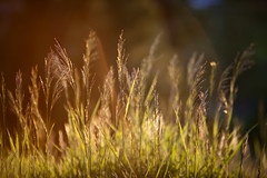Bright Orange Green Wheat Grass in Late Sunset Light (TylerKnott) Tags: light sunset color grass wheat sunflares