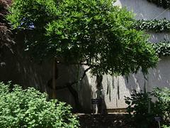 DSC01223 (AudMPope) Tags: museum bonsai penjing