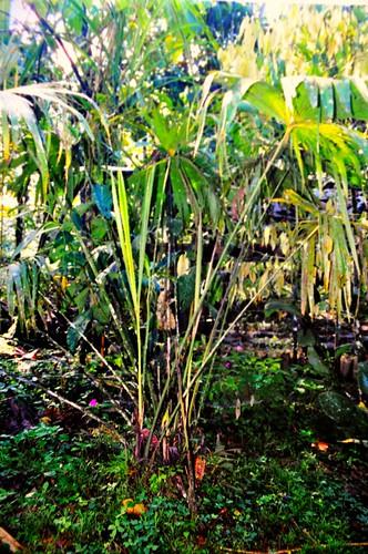 panama hat palm. Palmata, Panama hat palm ( carludovica)
