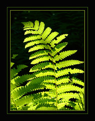 Survivor From The Dawn Of Time (Photographic Poetry) Tags: fern green nature illumination verdant prehistoric spores verdancy