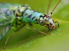 Green Lacewing Portrait (steb1) Tags: macro nature closeup insect neuroptera greenlacewing chrysopidae chrysopaperla macrolife