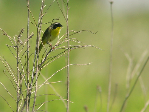 Common Yellowthroat 20100630