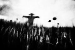 (Effe.Effe) Tags: bw blur monochrome mood wheat scarecrow bn poppies espantapájaros biancoenero trigo papaveri grano spaventapasseri mosso grana blé desenfocado sfocato espantalho épouvantail amapola weizen coquelicots vogelscheuche