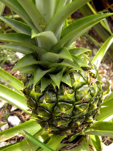 Original Pineapple