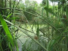 idroterapia (Andrei (tra le foglie)) Tags: foglie natura acqua piante papiro fiumi ciane papiri