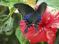 蝴蝶 Butterfly (ddsnet) Tags: butterfly insect sony hsinchu taiwan cybershot 台灣 蝴蝶 昆蟲 照門 新竹縣 新埔 sinpu hsinpu 新埔鎮 箭竹窩 hx1 箭竹窩休閒農業區