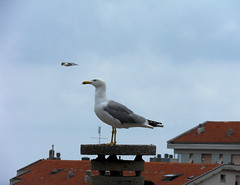 Vicino di casa (fotomie2009 OFF) Tags: roof bird mediterraneo seagull gabbiani gabbiano reale larus zampe larusmichahellis michahellis gialle gabbianoreale gabbianorealezampegialle zampegialle