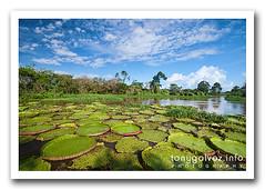 vitória-regia, Amazonia, Brazil