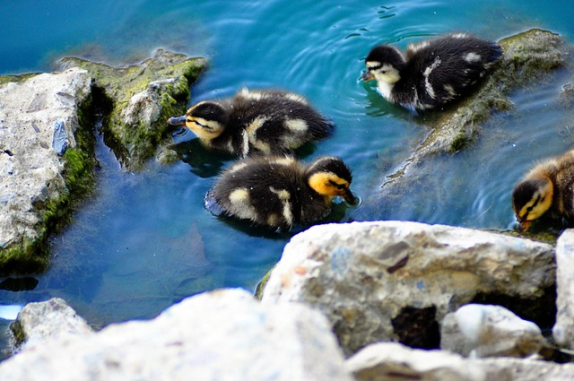 Baby Ducks! SQUEE