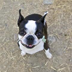 Bella Bella, Bellissima Bella (Ellen Soohoo) Tags: sf dog smile boston canon teeth richmond terrier grin 5d pointisabel bella beg sfbay ptisabel ebrpd 2470mm 2470mmf28l