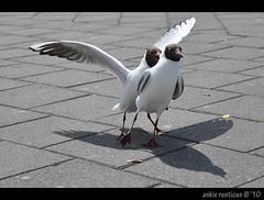 """Follow da leader leader!!"" (Ankie Rusticus, I'm not much here) Tags: haven terschelling vogels zeemeeuwen"