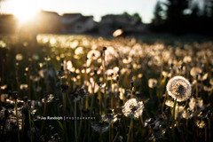 Time (Jay Randolph | Photography) Tags: light sunset sun green field grass yellow gold focus warm bokeh depth dandilion