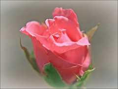 Pink Rose (Sue90ca Much Too Busy!!) Tags: flower caonon rebelxsi
