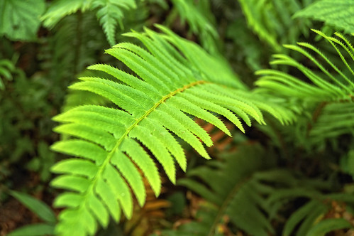 Sword Fern Surprise by Joe Rocchio