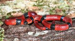 coral snake mimic (Pliocercus elapoides) (Josiah Townsend) Tags: reptile snake honduras culebra yoro atlantida serpiente colubridae texiguat animaliachordatasauropsidasquamata