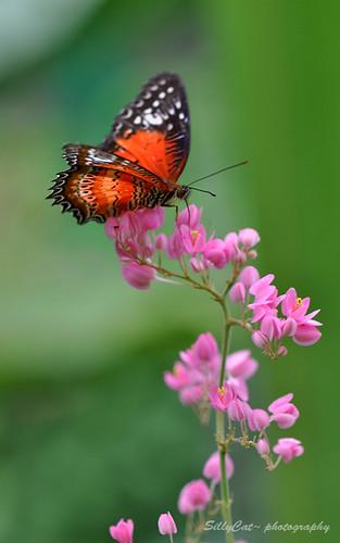Cethosia Biblis Perakana(Red lacewing) | 紅鋸蛺蝶