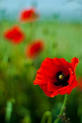 Pick of the Bunch (Mick H 51) Tags: flowers ireland wild field canon eos 50mm 14 poppy kildare 450d